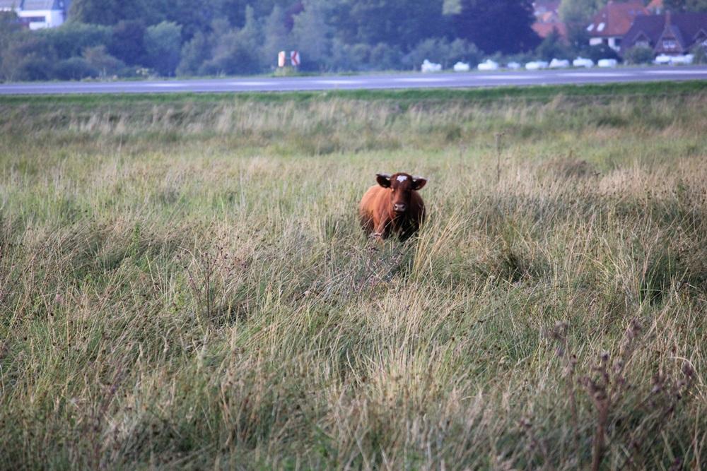 Maine-Anjou, simultaneously landscape conservation and meat production, Hof Haithabu