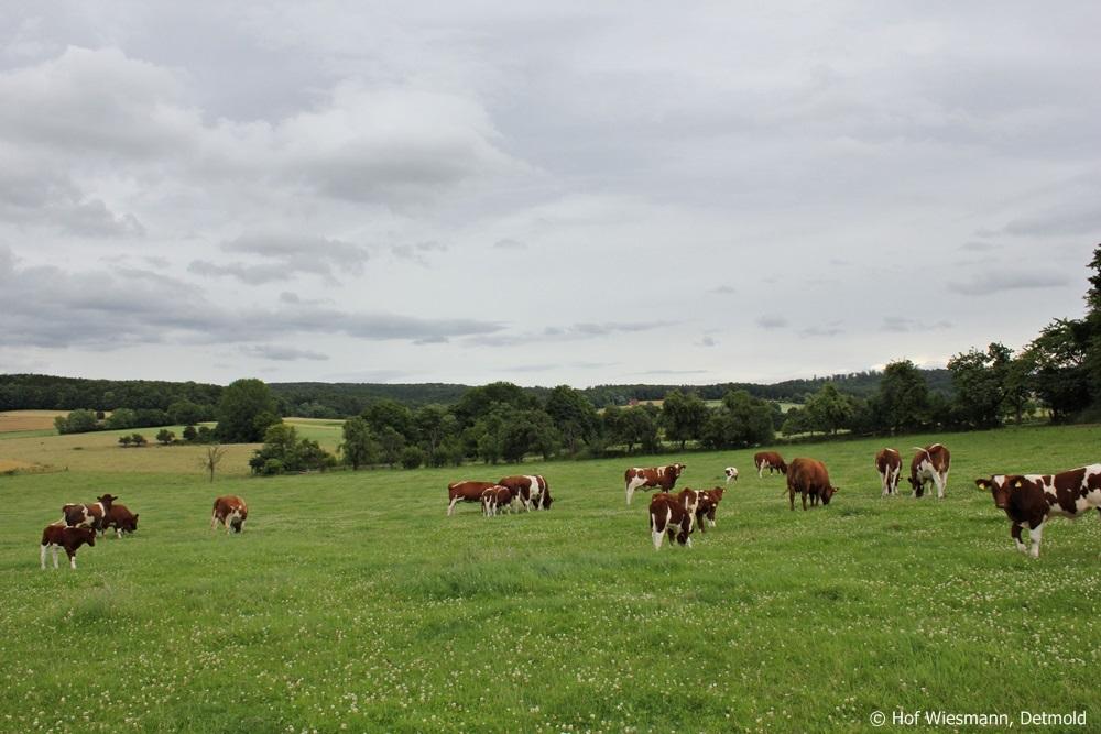 Troupeau Maine-Anjou à la ferme Wiesmann, Detmold