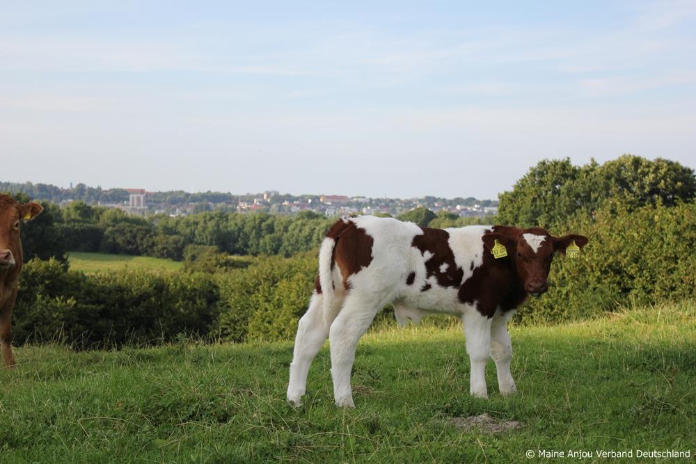 Jeune taureau