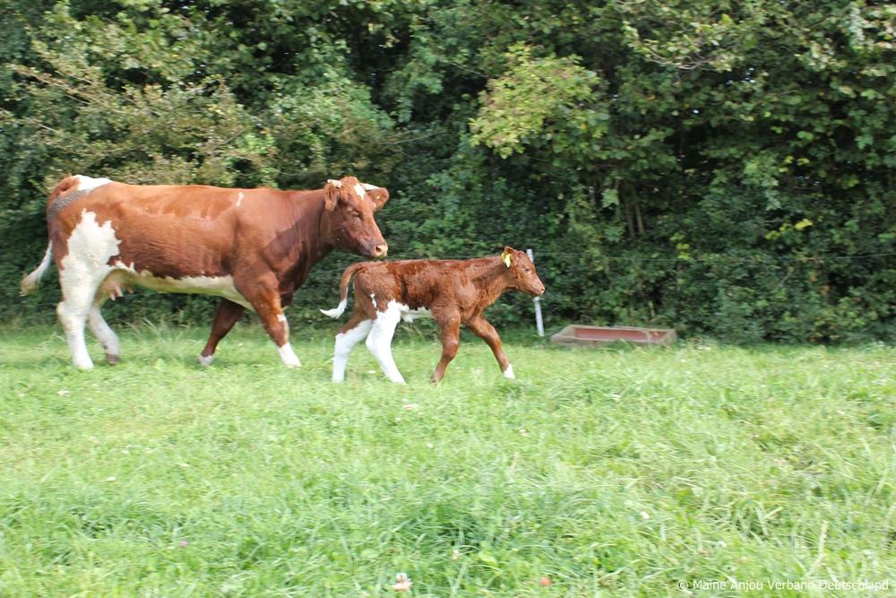 Vache et veau de la ferme Haithabu