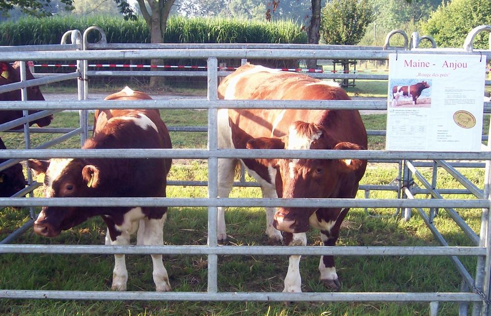 Vache Maine-Anjou avec veau mâle. Éleveur: Matthias Reinecke de 59514 Welver