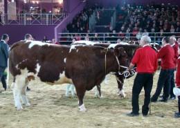 Maine-Anjou Cow at SIA Fair in Paris 2013