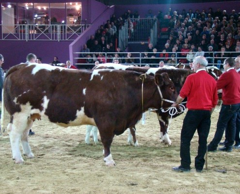 Maine-Anjou Cow at SIA Fair in Paris 2013