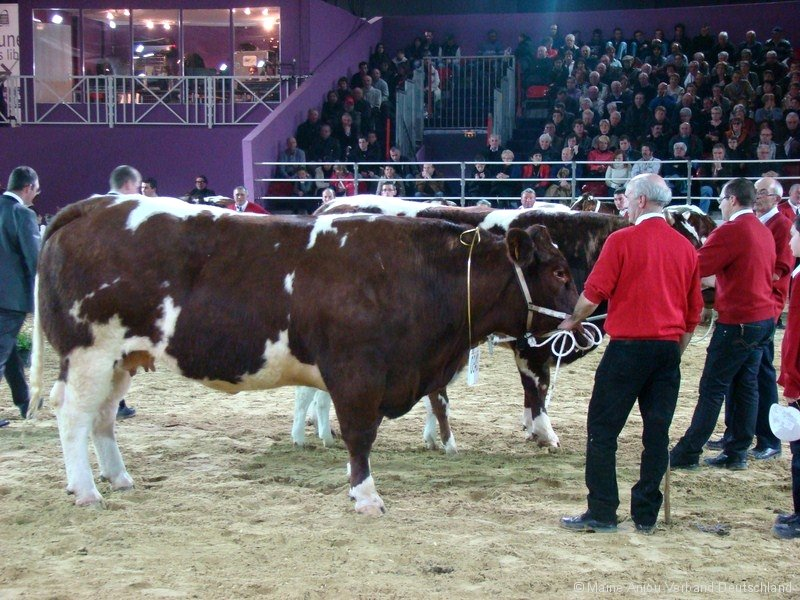 Vache Maine-Anjou lors de l'exposition SIA Messe à Paris en 2013
