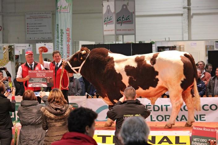 Taureau primé Maine-Anjou Salon Agricole Agrimax Metz 2014