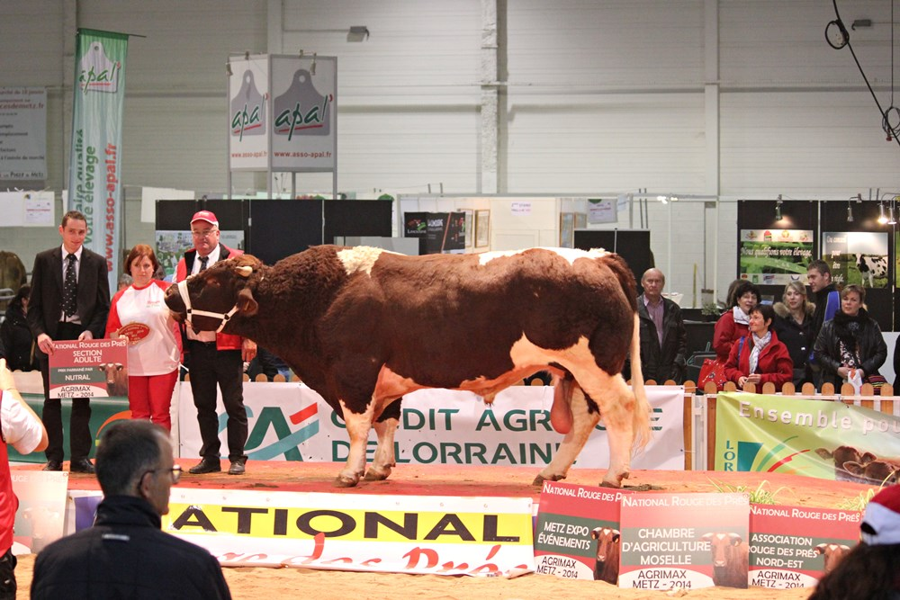 Award-winning bull Maine Anjou Agricultural Fair Agrimax in Metz 2014