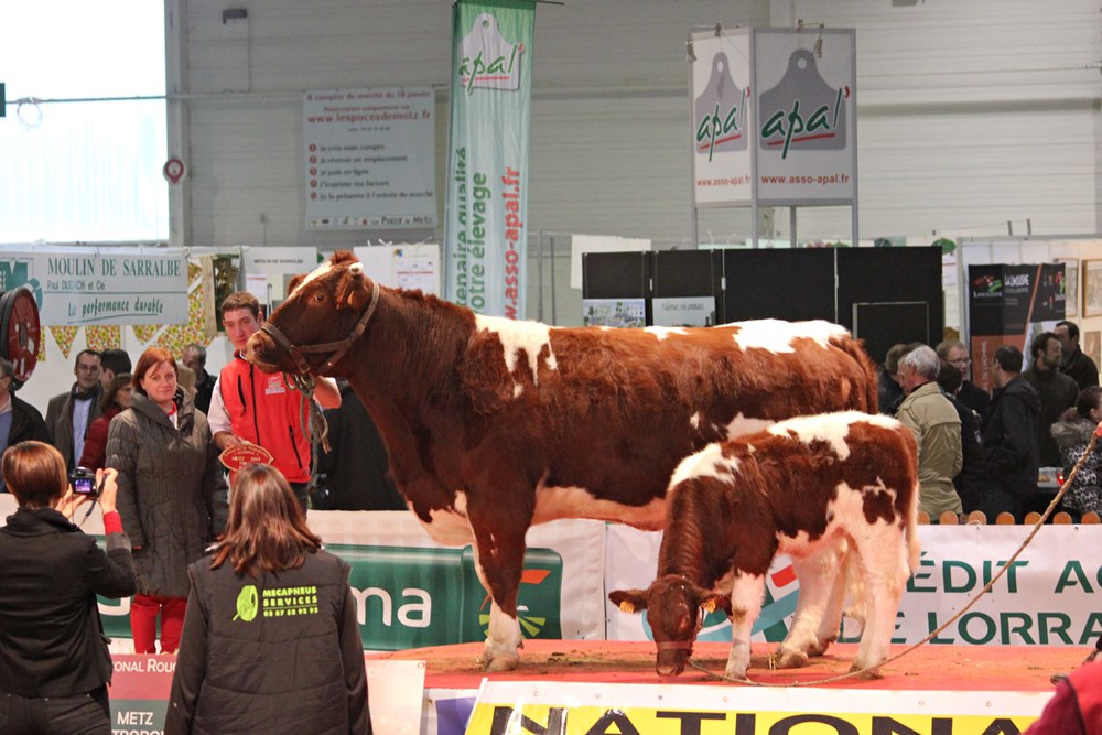 Award-winning cow Maine Anjou Agricultural Fair Agrimax in Metz 2014