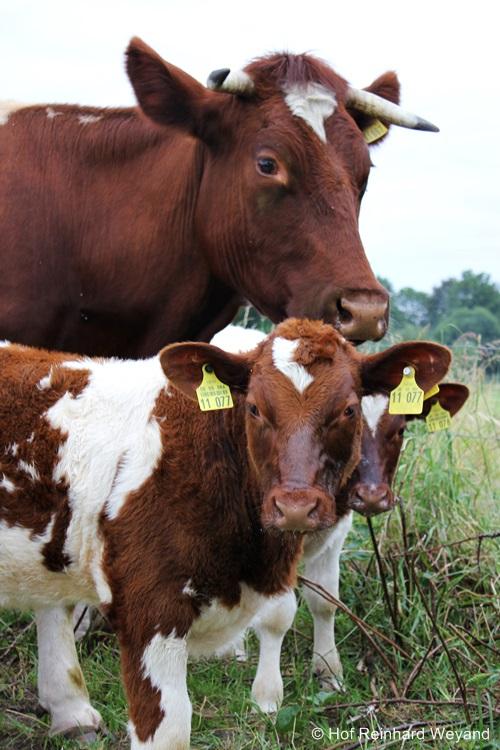 Maine-Anjou Kuh + Kälber zur JHV 2015 auf dem Hof Weyand