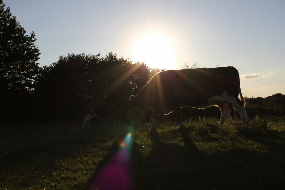 Grazing in the evening sun, Hof Haithabu