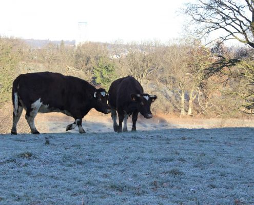 Grazing in freezing weather, Biohof Haithabu