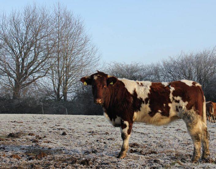 Weidegang bei Frostwetter, Biohof Haithabu