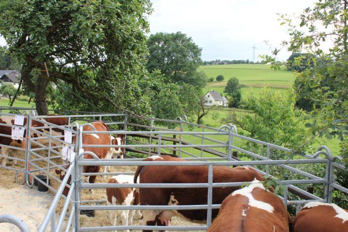 Präsentation der Maine-Anjou Rinder in Paddocks mit zugehörigen Informationen